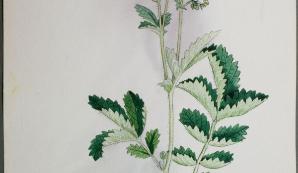 Photo of a watercolour painting of a White Cinquefoil plant.