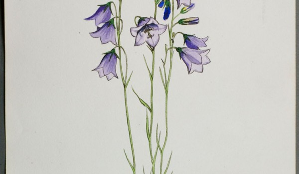 Photo of a watercolour painting of a Harebell plant.