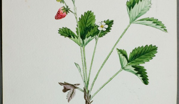 Photo of a watercolour painting of a Smooth Wild Strawberry plant.