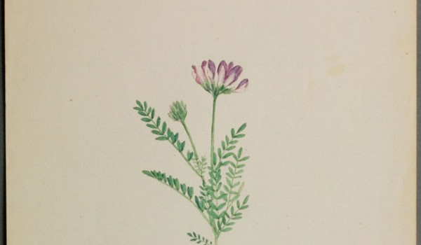 Photo of a watercolour painting of a Purple Milk-vetch plant.
