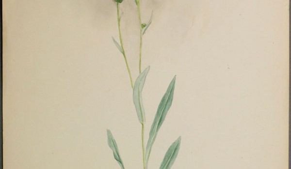 Photo of a watercolour painting of a Smooth Fleabane plant.