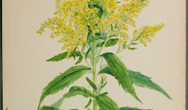 Photo of a watercolour painting of a Canada Goldenrod plant.