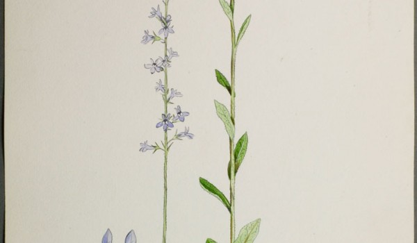 Photo of a watercolour painting of a Spiked Lobelia plant.