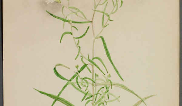 Photo of a watercolour painting of a Many-flowered Aster plant.