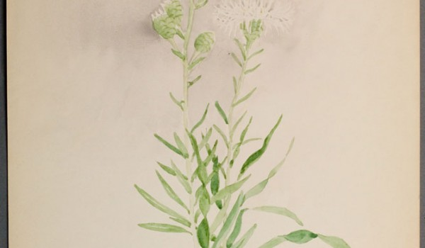 Photo of a watercolour painting of a Meadow Blazingstar plant.