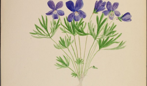 Photo of a watercolour painting of a Crowfoot Violet plant.