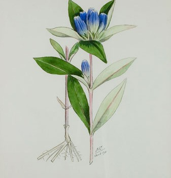 Photo of a watercolour painting of a Closed Gentian plant.
