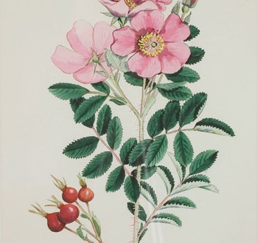 Photo of a watercolour painting of a Prairie Rose plant.