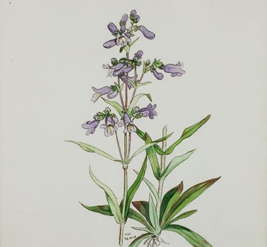 Photo of a watercolour painting of a Lilac-flowered Beardtongue plant.