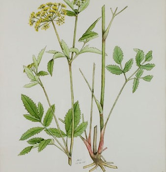 Photo of a watercolour painting of a Golden Alexander plant.
