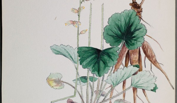 Photo of a watercolour painting of an Alumroot plant.
