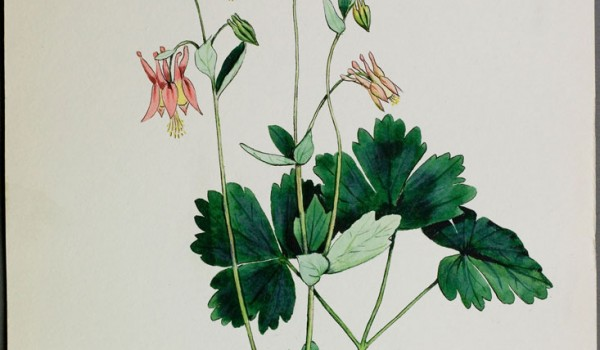 Photo of a watercolour painting of a Wild Columbine plant.