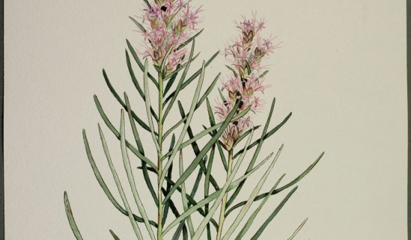 Photo of a watercolour painting of a Dotted Blazingstar plant.
