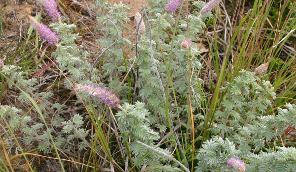 Photo of a Hairy Prairie-clover plant.