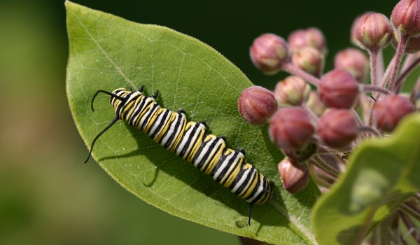 Photo of a Monarch caterpillar on a Showy Milkweed leaf.