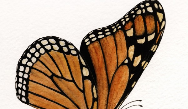 Photo of a painting of a Monarch butterfly pollinating a Dwarf Milkweed flower.