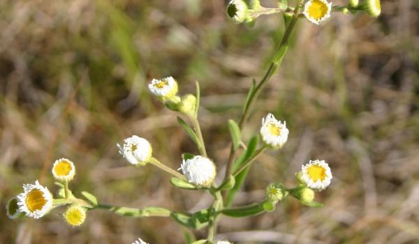Photo of a Daisy Fleabane plant.