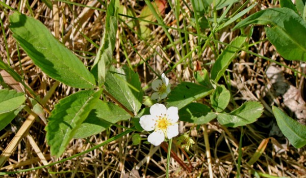 Photo of a Smooth Wild Strawberry plant.