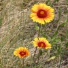 Photo of a Gaillardia plant.