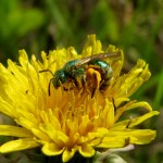 Photo of a sweat bee on a Dandelion flower head.