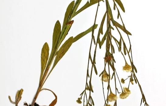 Photo of a pressed herbarium specimen of Daisy Fleabane.