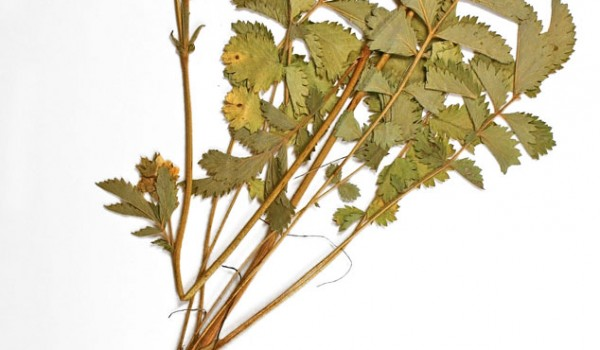 Photo of a pressed herbarium specimen of White Cinquefoil.