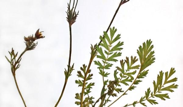 Photo of a pressed herbarium specimen of Three-flowered Avens.