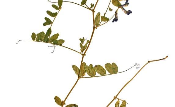 Photo of a pressed herbarium specimen of American Vetch.
