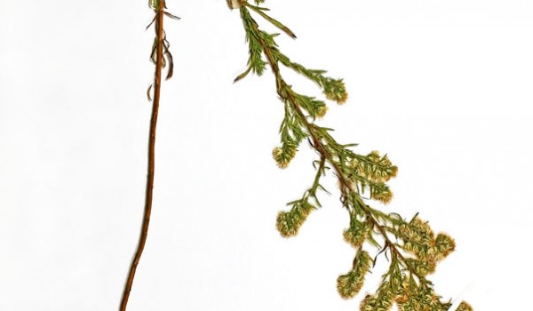 Photo of a pressed herbarium specimen of Many-flowered Aster.