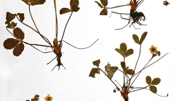 Photo of a pressed herbarium specimen of Smooth Wild Strawberry.