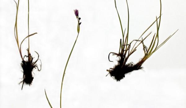 Photo of a pressed herbarium specimen of Blue-eyed Grass.