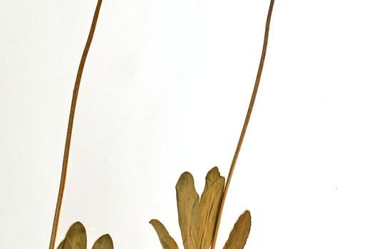 Photo of a pressed herbarium specimen of Saline Shootingstar.