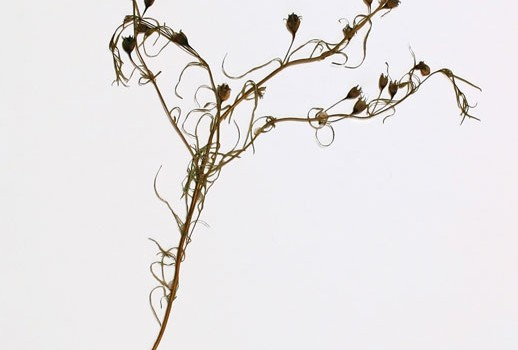 Photo of a pressed herbarium specimen of Rough Agalinis.