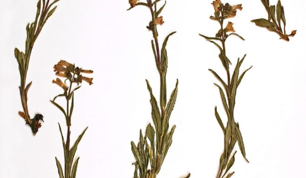 Photo of a pressed herbarium specimen of Lilac-flowered Beardtongue.