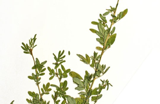 Photo of a pressed herbarium specimen of White Prairie-clover.