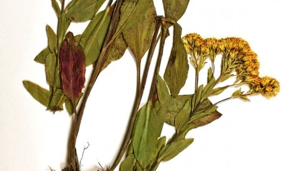 Photo of a pressed herbarium specimen of Rigid Goldenrod.