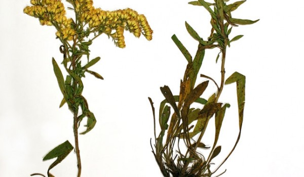 Photo of a pressed herbarium specimen of Showy Goldenrod.