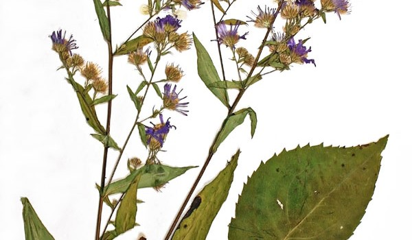 Photo of a pressed herbarium specimen of Lindley's Aster.