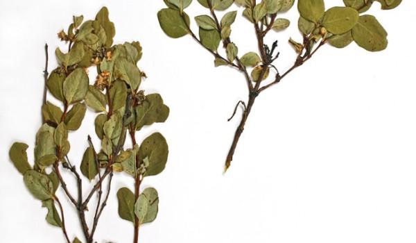 Photo of a pressed herbarium specimen of Western Snowberry.