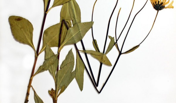 Photo of a pressed herbarium specimen of Stiff Sunflower.