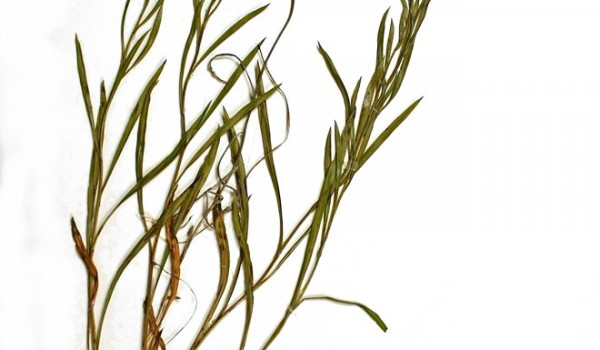 Photo of a pressed herbarium specimen of Upland White Goldenrod.