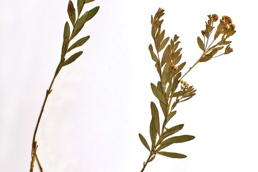 Photo of a pressed herbarium specimen of Pale Comandra.