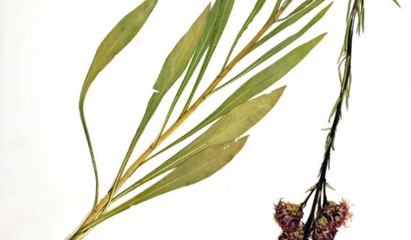Photo of a pressed herbarium specimen of Meadow Blazingstar.