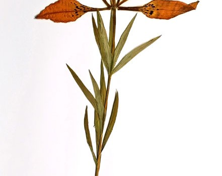 Photo of a pressed herbarium specimen of Western Red Lily.