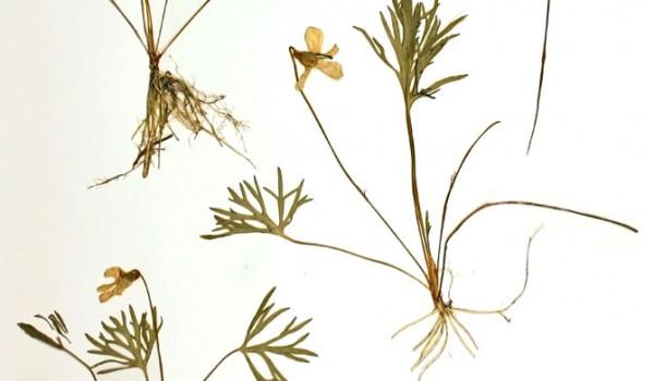 Photo of a pressed herbarium specimen of Crowfoot Violet.