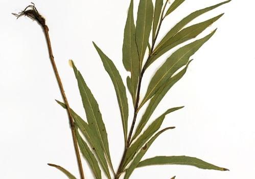Photo of a pressed herbarium specimen of Narrow-leaved Sunflower.