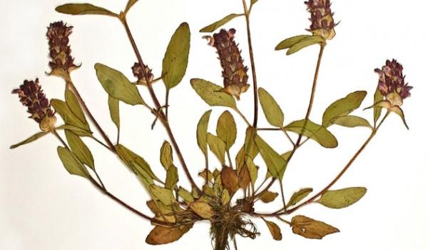 Photo of a pressed herbarium specimen of Selfheal.