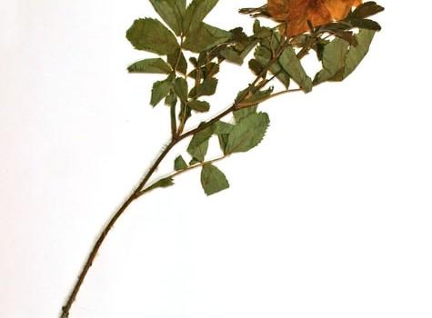 Photo of a pressed herbarium specimen of Prairie Rose.