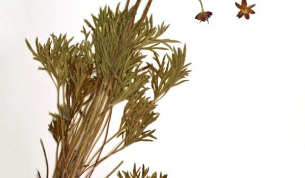 Photo of a pressed herbarium specimen of Cut-leaved Anemone.