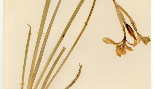 Photo of a pressed herbarium specimen of Western Blue Flag.